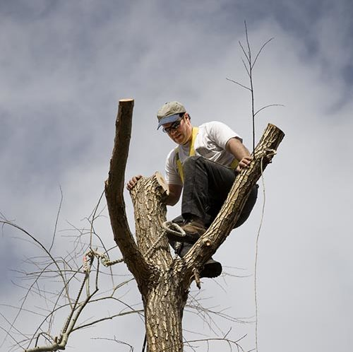 Tree surgeon up in a mostly cut down tree